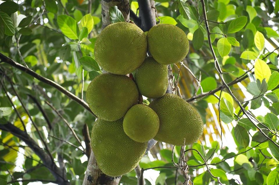[interview] Felice Uiterwijk RM van Fairtrade Original over jackfruit